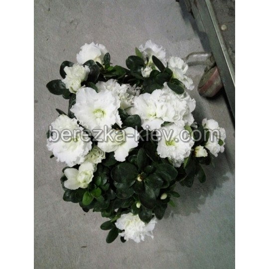 Азалия (Белая) кустовая 20 см.