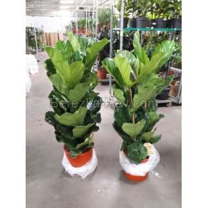 Фикус Лирата (Ficus Lyrata) Высота 1.5-1.6 м