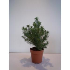 Сосна (pinus pinea silver crest)