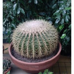 Эхинокактус Грузони Grusonii (d 40 см)