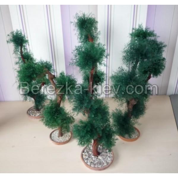 нептунус растение