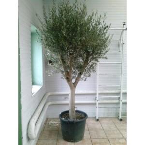Оливковое дерево 3м.