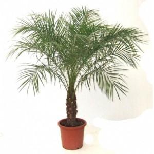Финиковая пальма 1,8-2м.