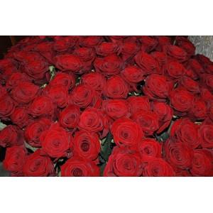 Букет из красных роз 1001 шт. высота 50-60см.