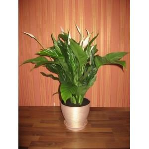Спатифиллум в керамическом горшке (Spathiphyllum) d-22 см, h: 70-80см.