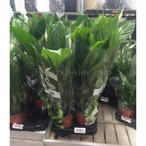 Спатифиллум (Spathiphyllum) d-19 см, h: 70-85см