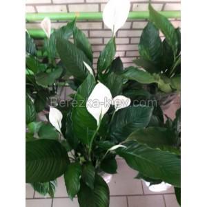 Спатифиллум (Spathiphyllum) d-27 см, h-1,2-1.3 м
