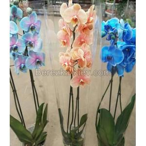 Орхидея Акварель Микс