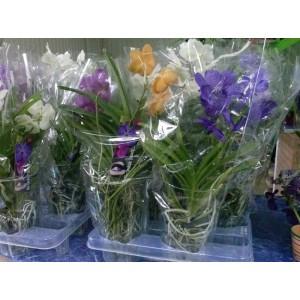 Орхидея Ванда 50см.