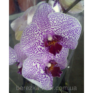Орхидея белая сиреневые точки