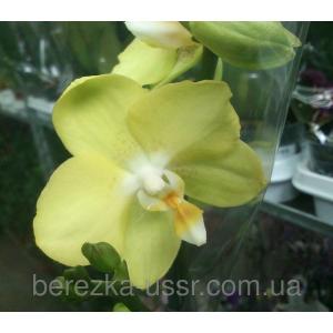 Орхидея, фаленопсис светло-желтая