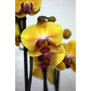 Орхидея желтая с фиолетовой серединкой