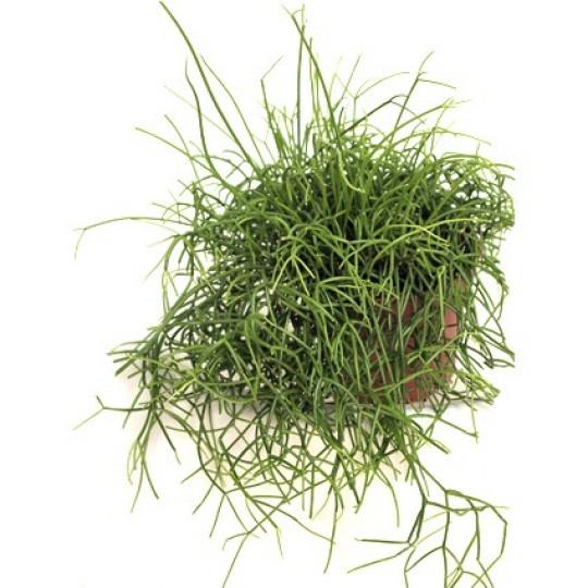 Наш интернет магазин цветов- Березка предлагает большой выбор растения Рипсалис