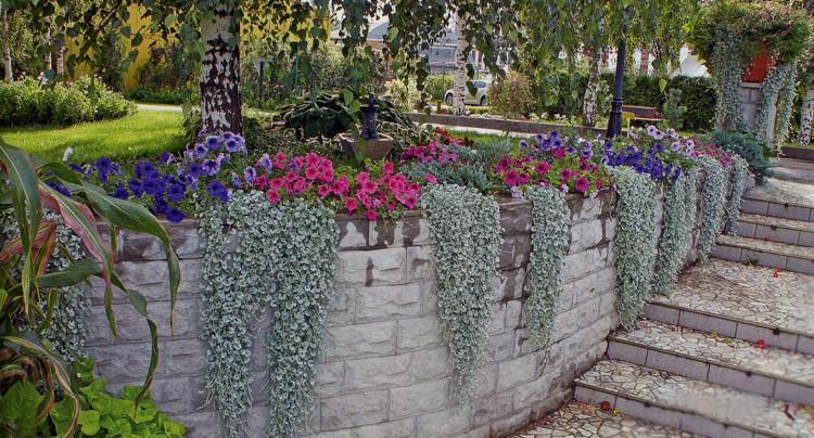 Картинки по запросу Дихондра ампельное растение
