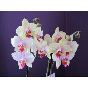 Мини Орхидея фаленопсис белая