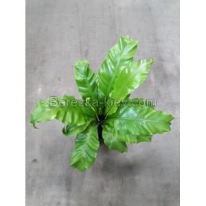 Асплениум Нидас (Asplenium Nidas) 40 см.