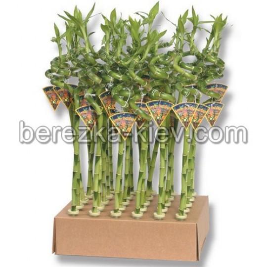 Бамбук счастья 3 стебля (3шт.)