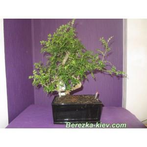 Бонсай перечное дерево