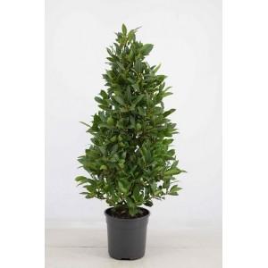 Лавровое дерево (Высота - 1 метр)