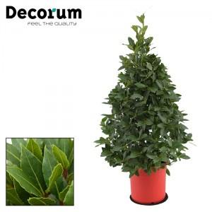 Лавровое дерево (Высота - 1,1 метра)