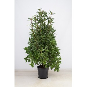 Лавровое дерево (Высота - 1,3 метра)