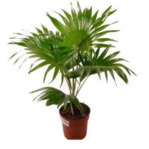 Пальма ливистона 1м.