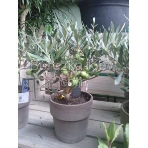 Оливка комнатная (высота 30см.)