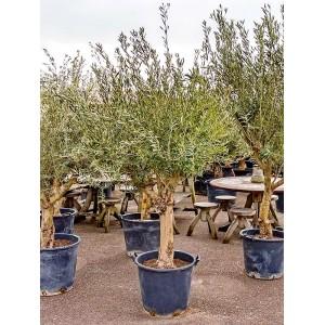 Дерево олива европейская (маслина)