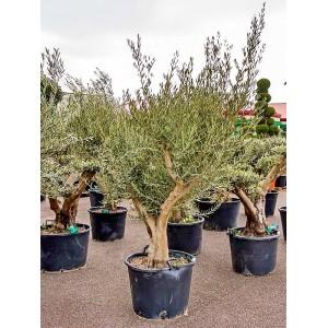 Комнатное дерево маслина европейская