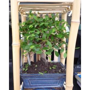 Бонсай лиственный Вяз