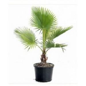 Пальма Вашингтония 1,0 м