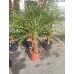 Финиковая пальма 1,3см.