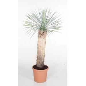 Пальма Юкка (Yucca Rostrata) 1,6 метра.