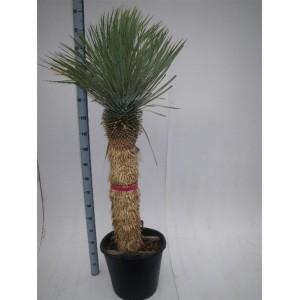 Пальма Юкка (Yucca Rostrata) 1,5 метра.