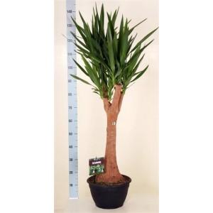 Пальма Юкка Слоновая 1,5 метра.
