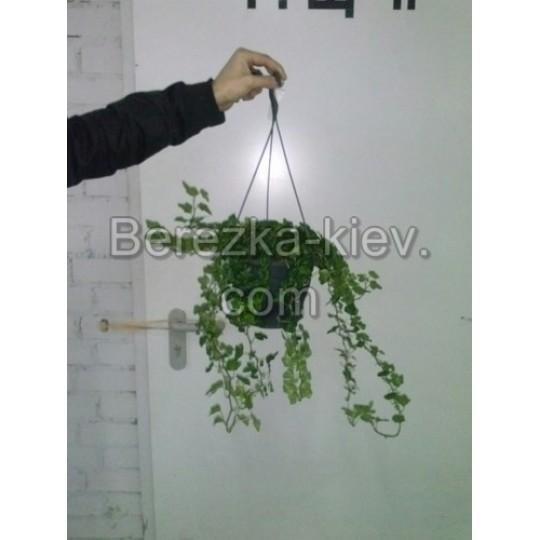 Плющ (Hedera Araliaceae)