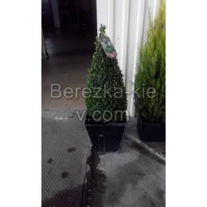 Самшит Буксус (Buxus microphylla) форма конус
