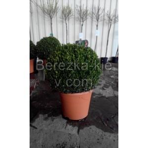 Самшит Буксус (Buxus microphylla) форма шар