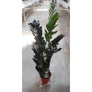 Замиокулькас черный (Zamioculcas) (d-17 см, h- 70-80 см)