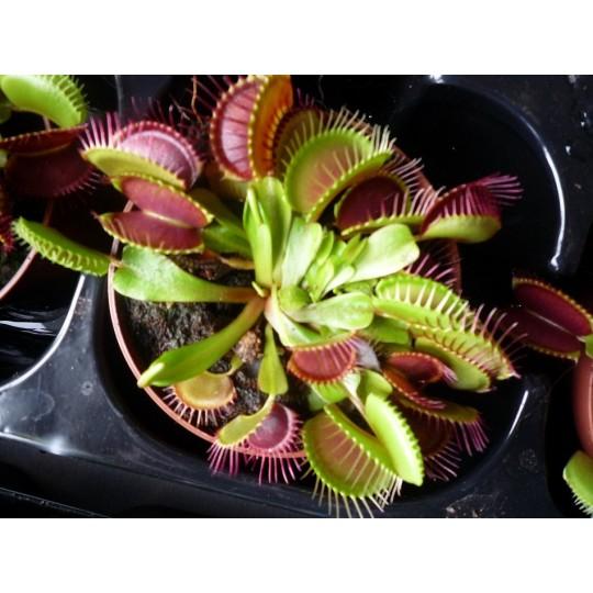 Дионея Венерина мухоловка Dionaea muscipula