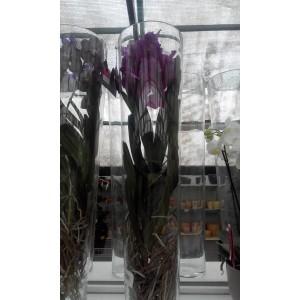 Орхидея Ванда (высота 0,9-1метр)