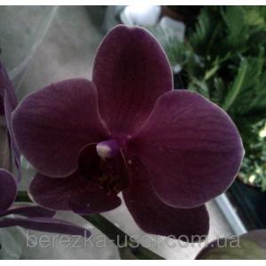 Орхидея темно-фиолетовый бархат